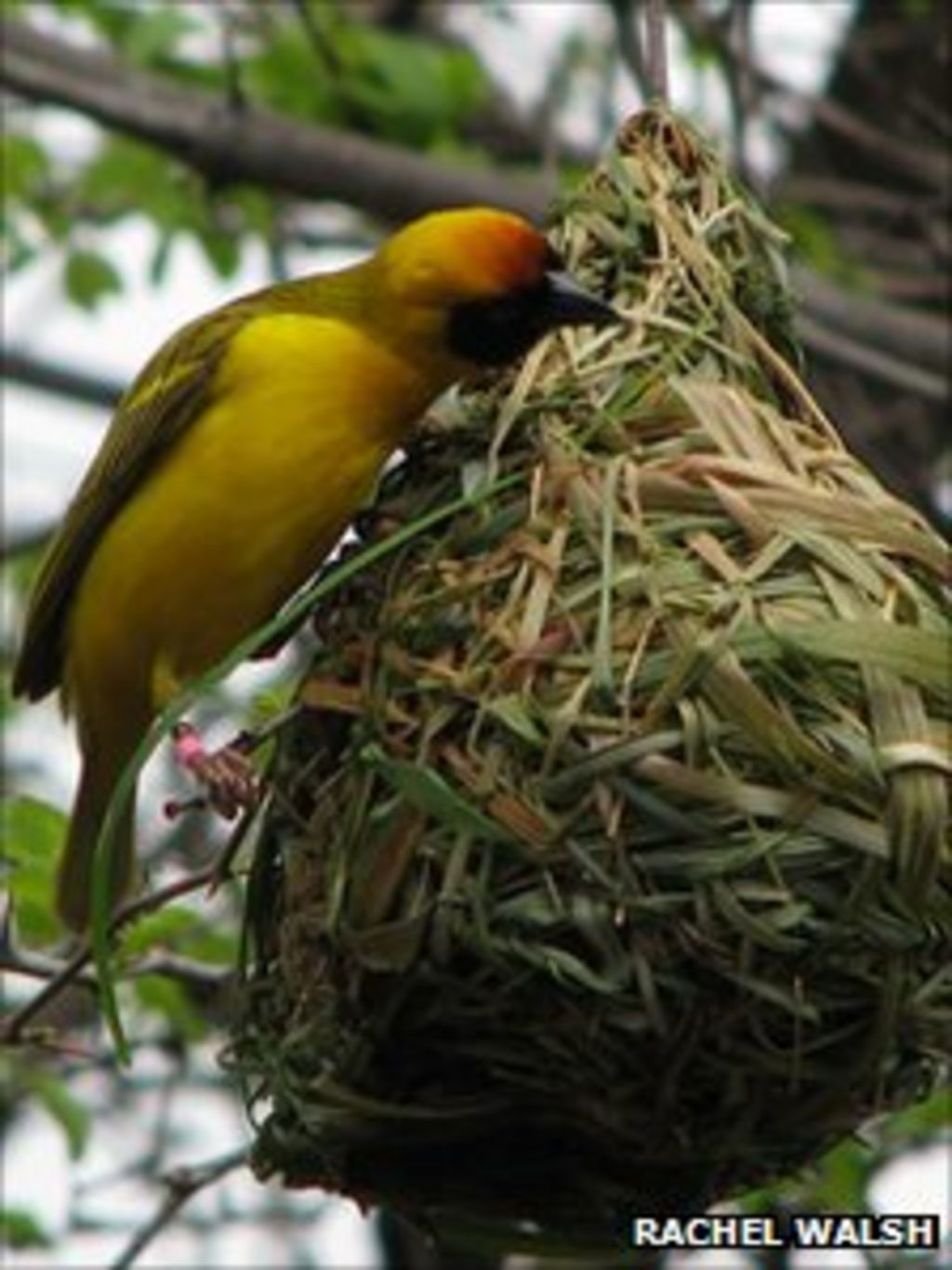 New Study Says Birds Learn How To Build Nests Bbc News