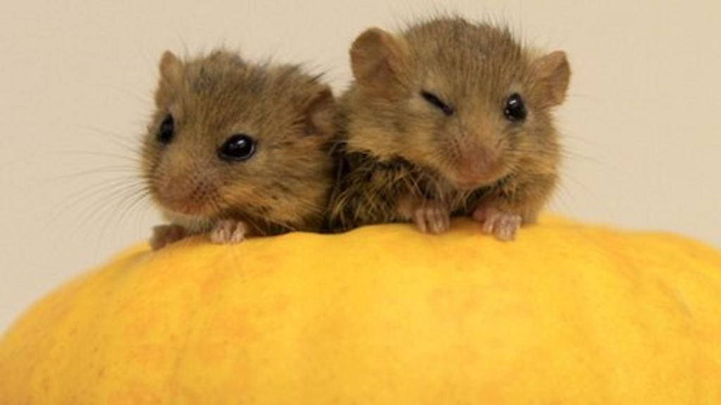 & Rare baby hazel dormice rescued from jaws of cat - BBC News