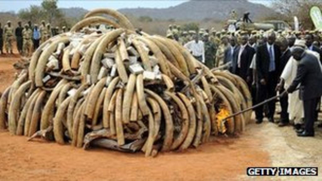 Recently killed elephants are fueling the ivory trade