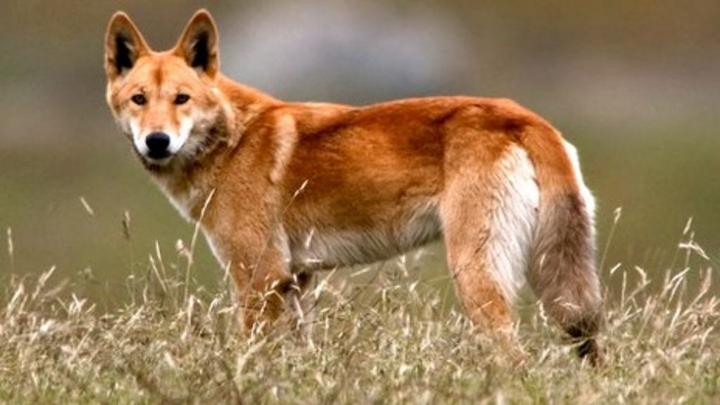 - Bbc Dingoes News They Are How Dangerous