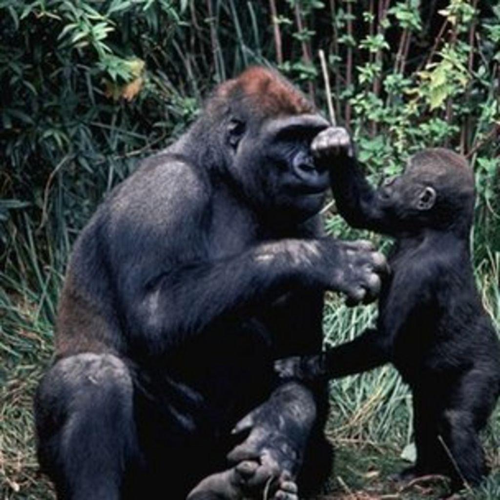 hoe groot is een gorilla penis Kim Possible Porn lesbisch