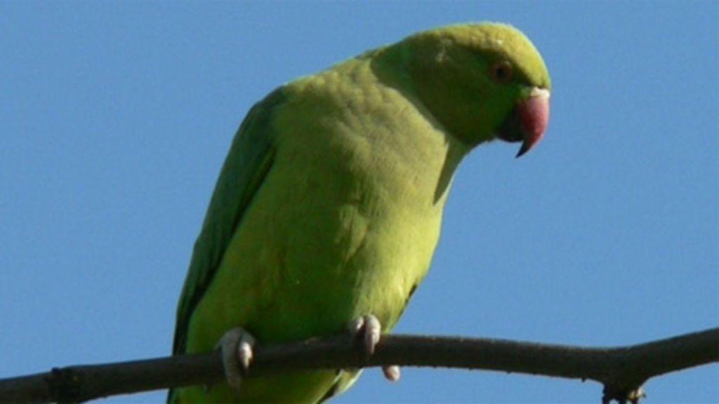 Uk Ring Necked Parakeets