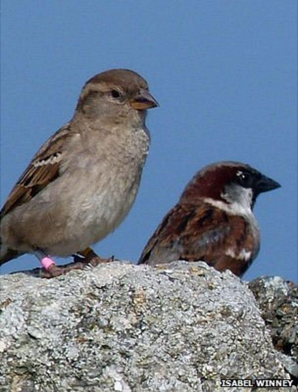 Urban noise 'killing baby house sparrows' - BBC News