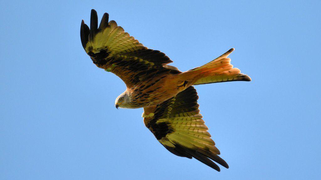 Sylvia Watson from Kilmarnock photographed this red kite at Bellymack farm, near Castle Douglas.