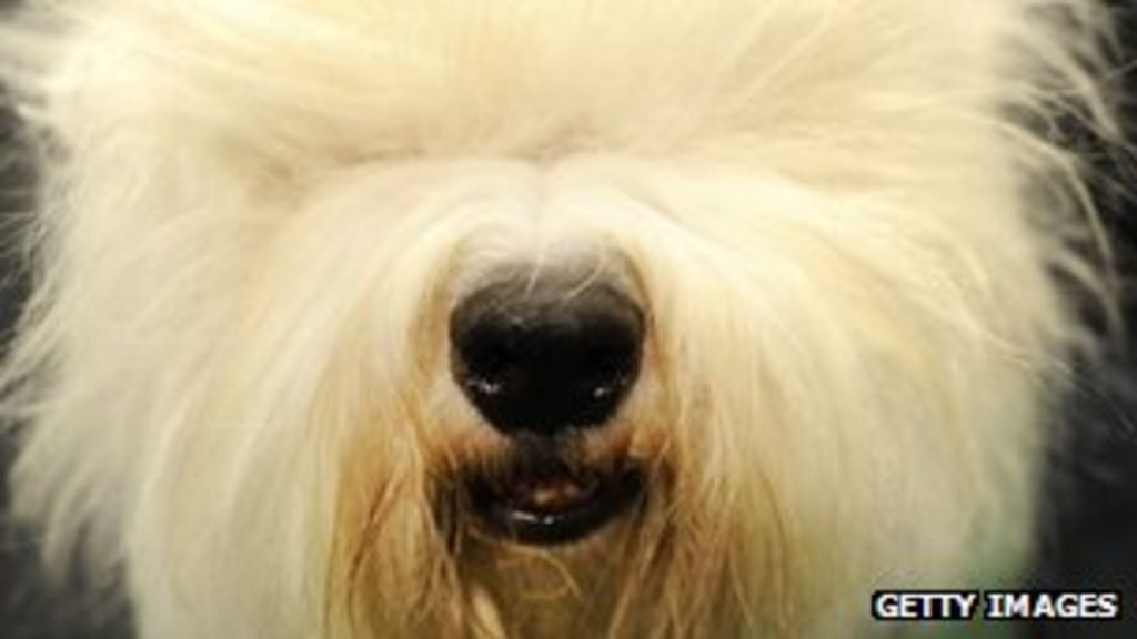 Old English Sheepdog put on breed watch list - BBC News