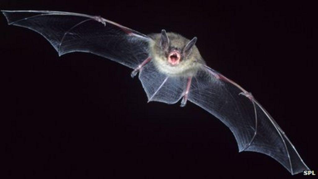 New Coronavirus May Be Bat Bug Bbc News