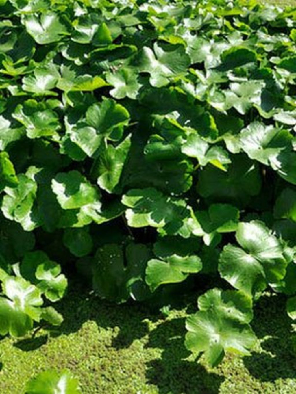 Uk bans sale of five invasive non native aquatic plants for Native pond plants