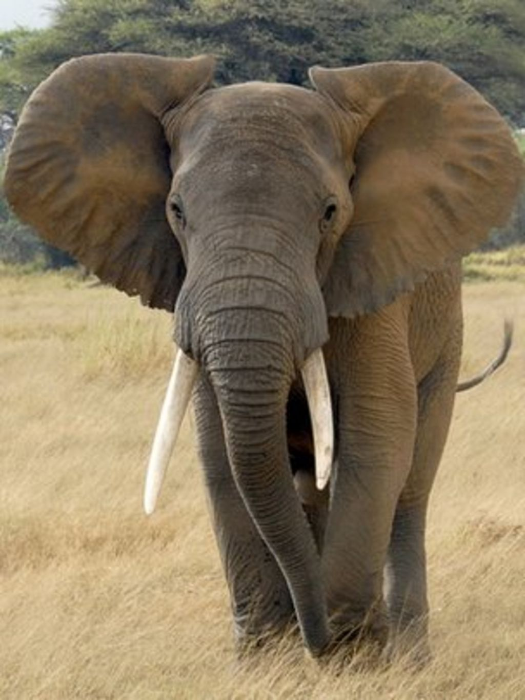 Early life care shapes african elephants 39 future bbc news - Image elephant ...