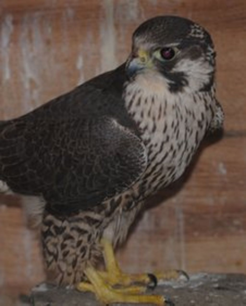 Shooting In Falcon Colorado: Injured Peregrine Falcon Released Back Into The Wild