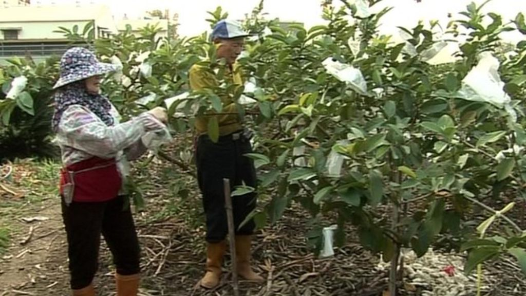Watch: Dr Cheng-Long Chuang explains how the tech is used at a guava farm