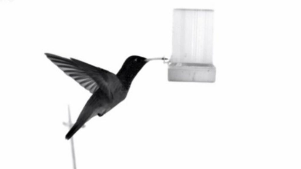 Hummingbirds' main flight feathers slide as they flap, changing the shape  and size of the wing and precisely controlling the lift its wings produce