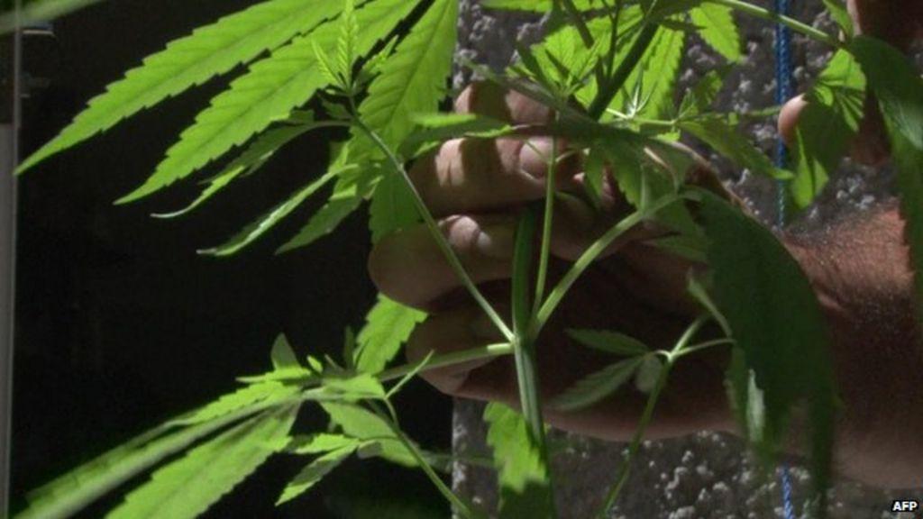 Bbc как марихуана торрент купить семена марихуаны одесса