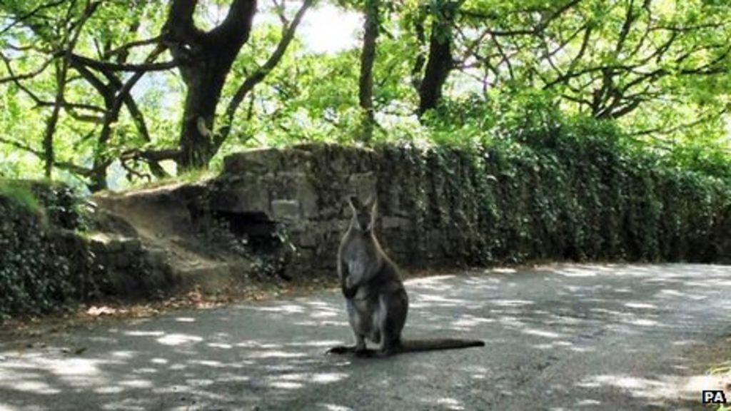 A Wallaby Bounds Into A Road Near Slaithwaite Bbc News