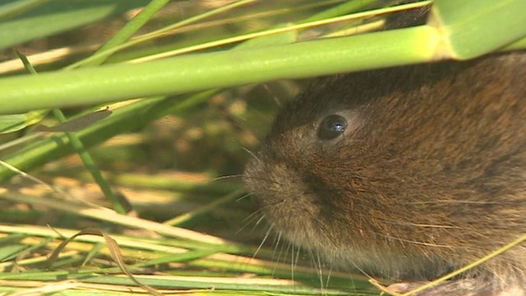4eb1f37c1af Water voles 'decline by a fifth' - BBC News