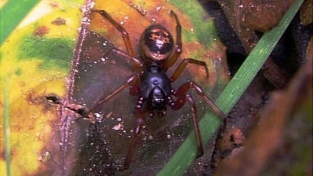 How Dangerous Are False Widow Spiders Bbc News