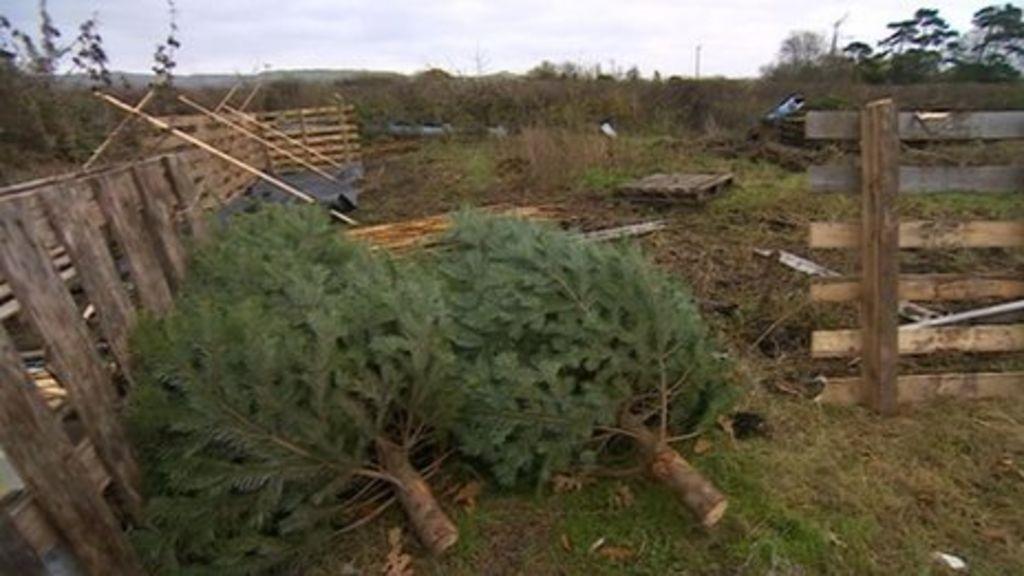 More Than 70 Christmas Trees Stolen From Keynsham Nursery