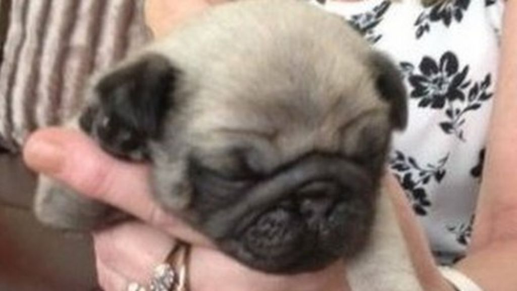 Pug Puppy Snatched In Violent Nottingham Raid At Terminally Ill