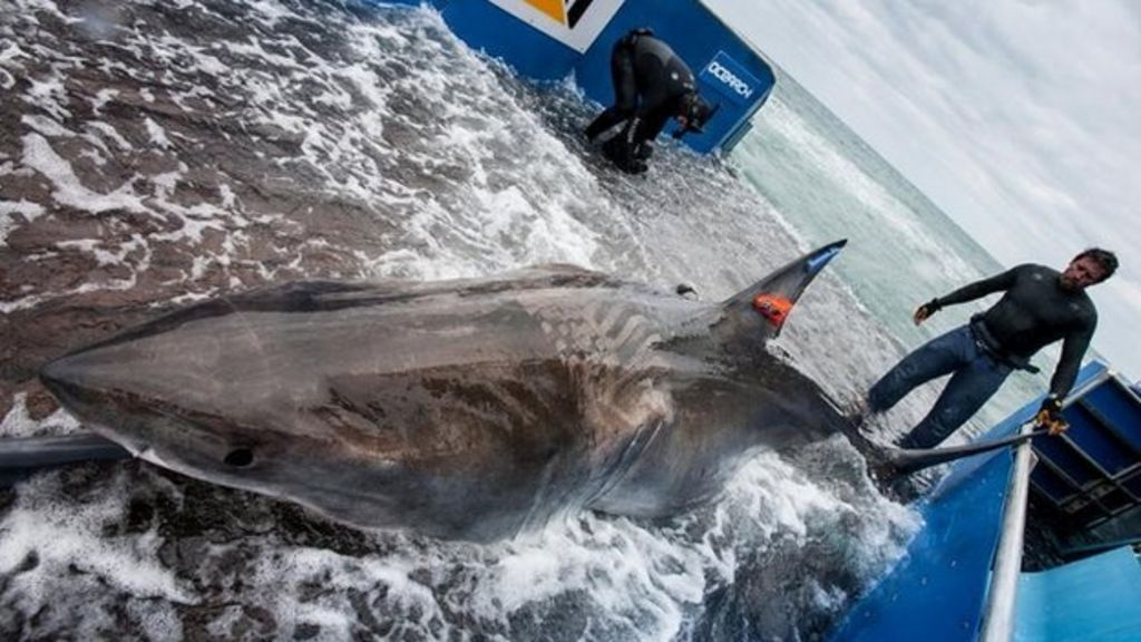 Tagged great white shark