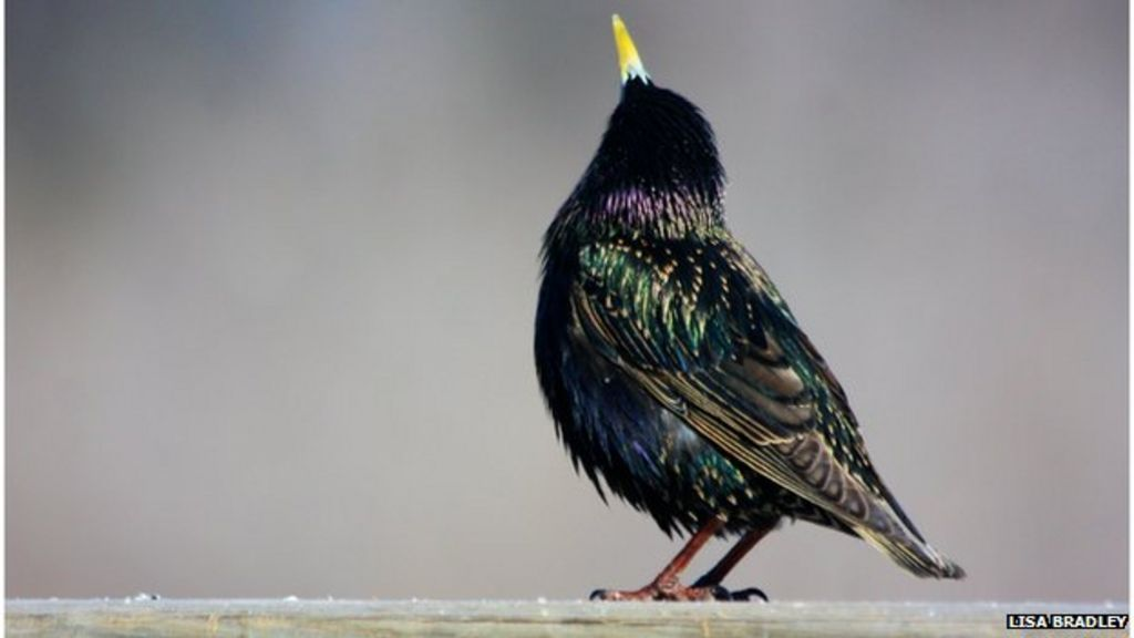 The Birds Of Shakespeare Cause Us Trouble Bbc News