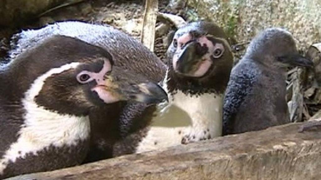 from Soren gay penguins news