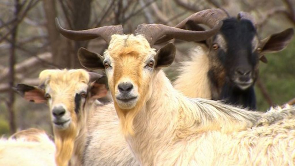 Australia herds profits from feral goat meat - BBC News