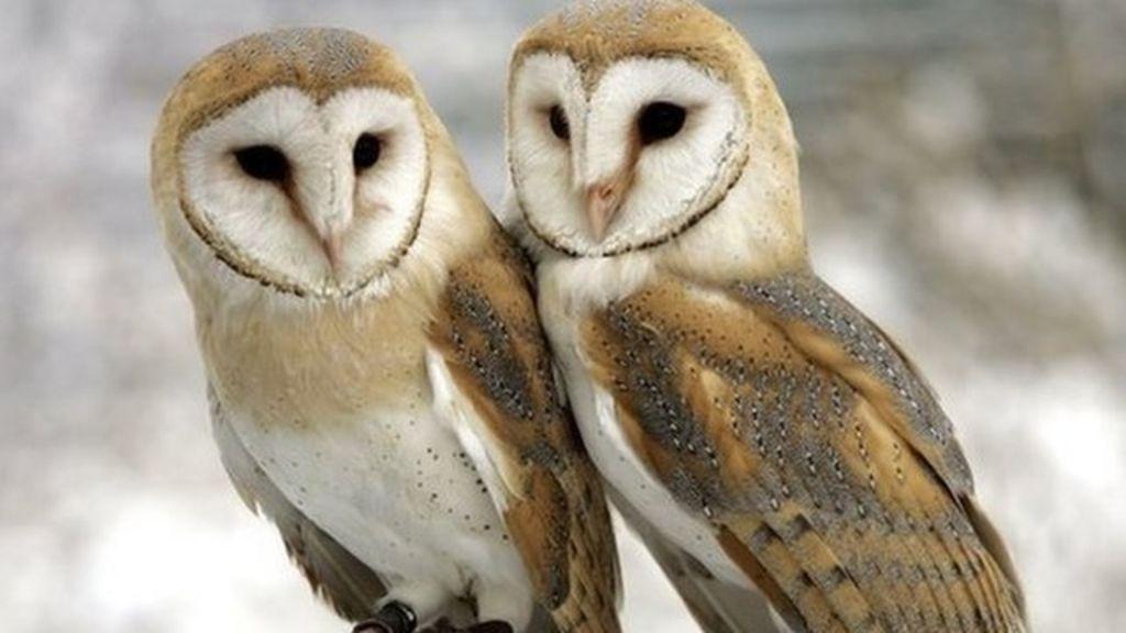 Scheme to help declining staffordshire barn owls bbc news for Food bar owl