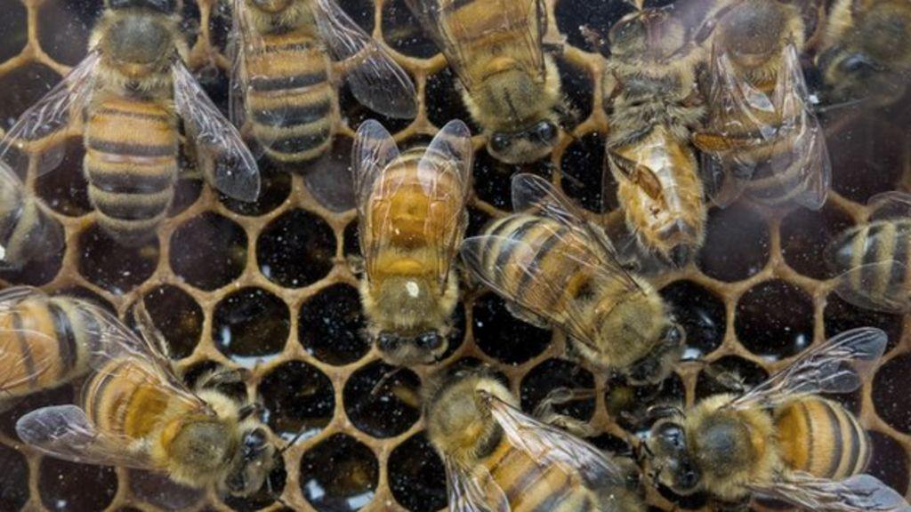 US sets up honey bee loss task force - BBC News