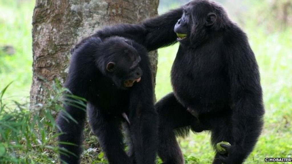 chimpanzee language communication gestures translated