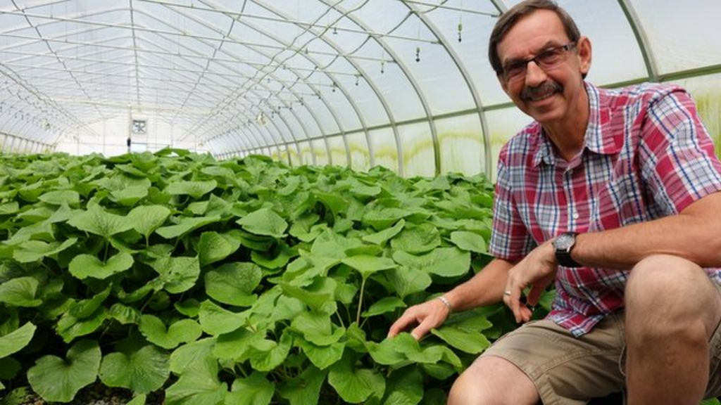 Wasabi: Why invest in 'the hardest plant to grow'? - BBC News