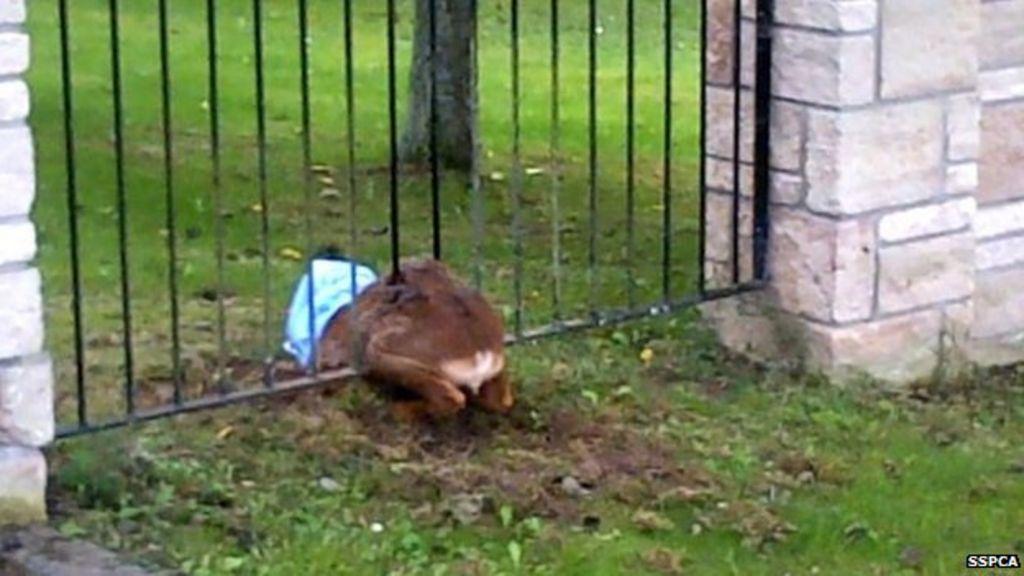 Stuck Deer Is Rescued From Metal Railings In Inverness