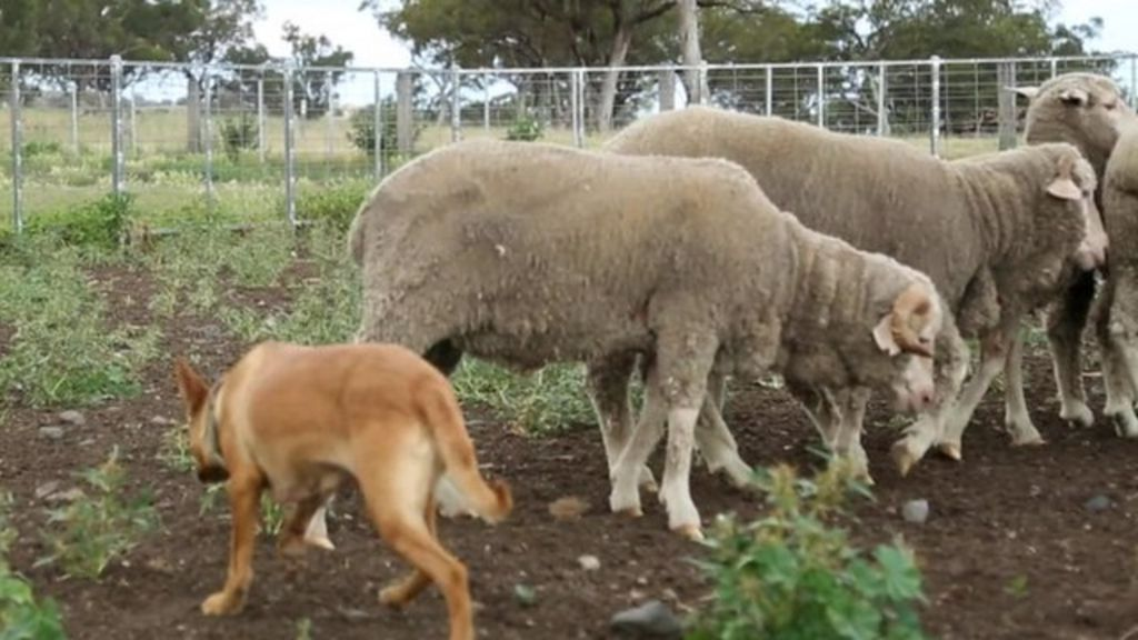 Started Working Dogs South Australia