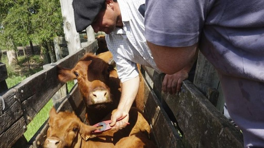 Uruguays World First In Cattle Farming Bbc News