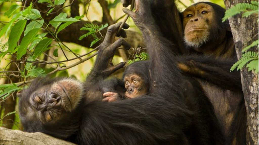 C For Chimpanzee HIV: Why is the virus ...