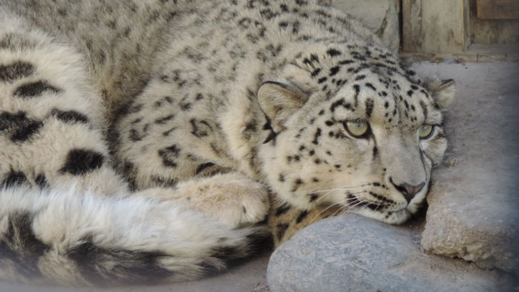 Pakistan Snow Leopard To Have New Home