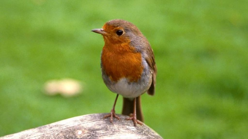 Mystery of robins' nighttime singing probed - BBC News