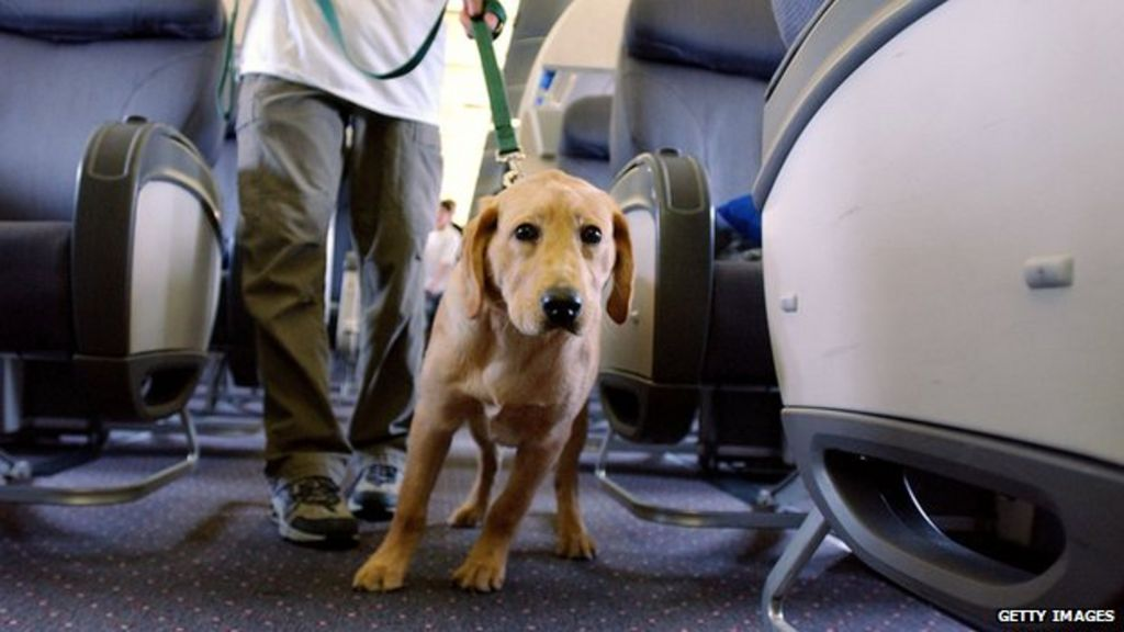 Advocates Fight Against Fake Service Dogs Bbc News