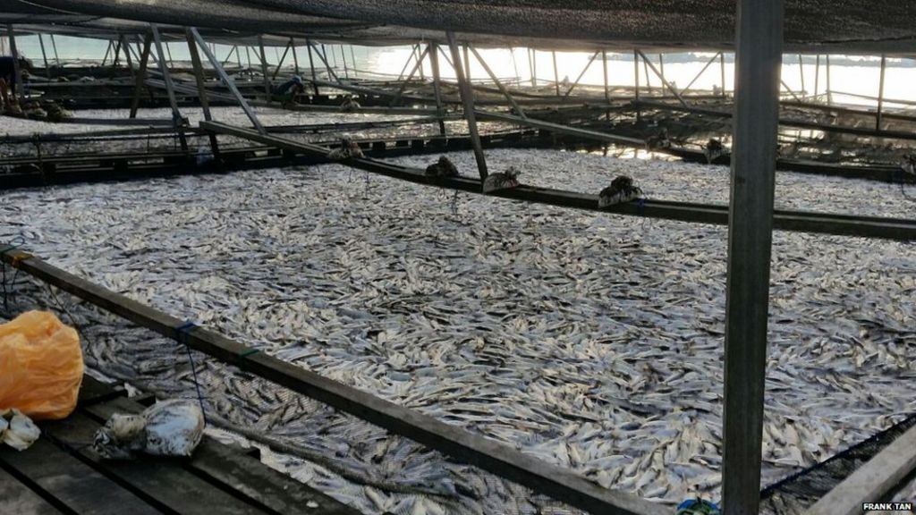 Mass fish deaths off singapore coast spark concern bbc news for Fish farms in california