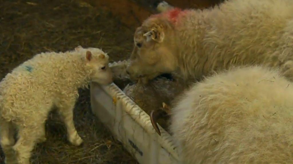 Iceland: TV channel airs 24-hour lambing marathon