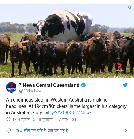 ट्विटर पोस्ट @7NewsCQ: An enormous steer in Western Australia is making headlines. At 194cm 'Knickers' is the largest in his category in Australia. Story   #7News