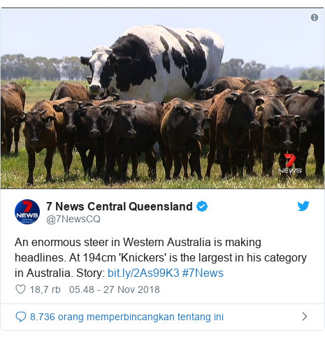 Twitter pesan oleh @7NewsCQ: An enormous steer in Western Australia is making headlines. At 194cm 'Knickers' is the largest in his category in Australia. Story   #7News