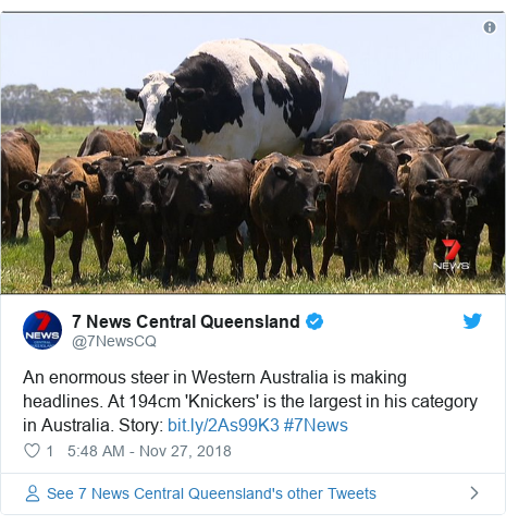 Twitter post by @7NewsCQ: An enormous steer in Western Australia is making headlines. At 194cm 'Knickers' is the largest in his category in Australia. Story   #7News