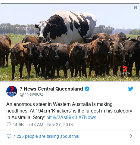 Ujumbe wa Twitter wa @7NewsCQ: An enormous steer in Western Australia is making headlines. At 194cm 'Knickers' is the largest in his category in Australia. Story   #7News