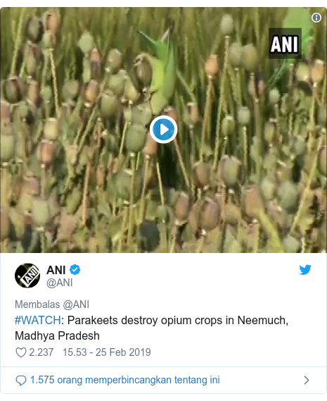 Twitter pesan oleh @ANI: #WATCH  Parakeets destroy opium crops in Neemuch, Madhya Pradesh