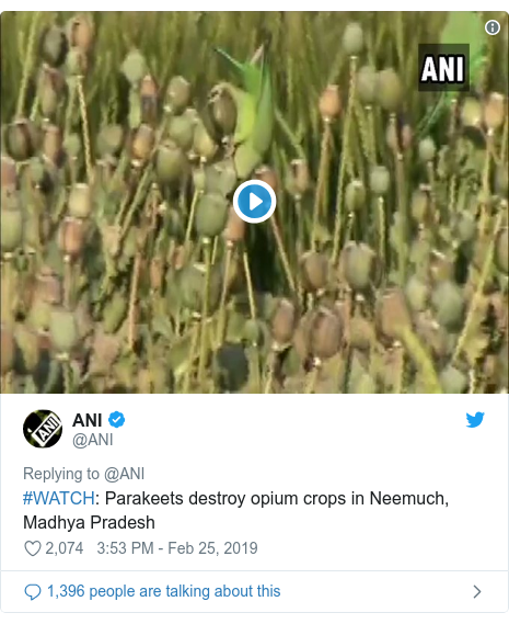 Twitter post by @ANI: #WATCH  Parakeets destroy opium crops in Neemuch, Madhya Pradesh