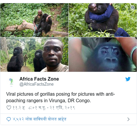 Twitter post by @AfricaFactsZone: Viral pictures of gorillas posing for pictures with anti-poaching rangers in Virunga, DR Congo.