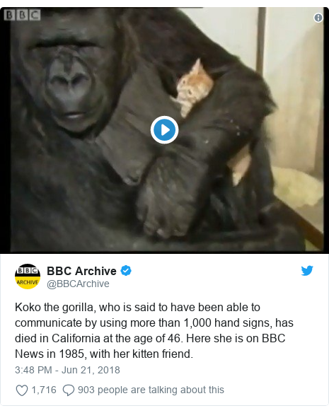 Twitter post by @BBCArchive: Koko the gorilla, who is said to have been able to communicate by using more than 1,000 hand signs, has died in California at the age of 46. Here she is on BBC News in 1985, with her kitten friend.