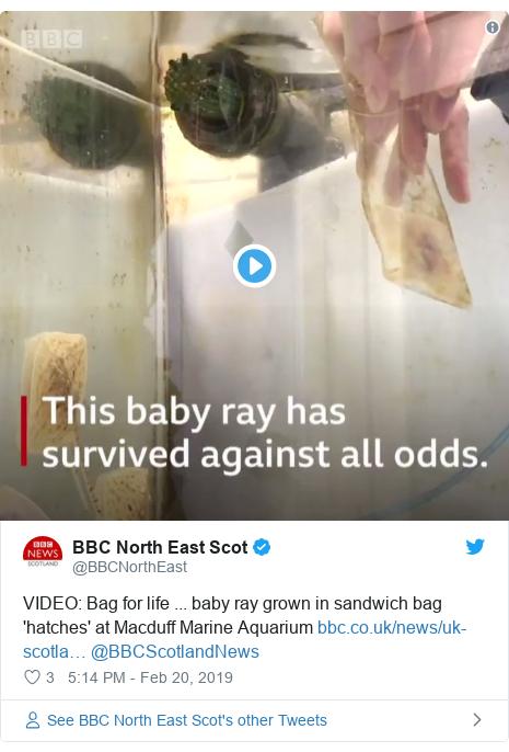 Twitter post by @BBCNorthEast: VIDEO  Bag for life ... baby ray grown in sandwich bag 'hatches' at Macduff Marine Aquarium  @BBCScotlandNews