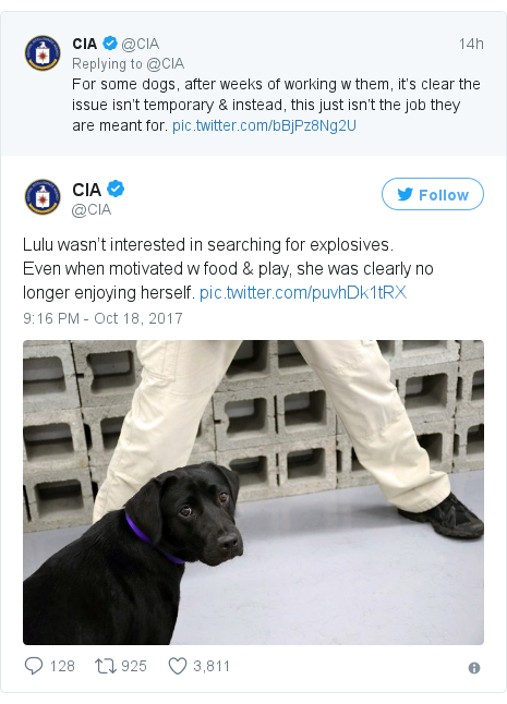 Twitter post by @CIA: Lulu wasn't interested in searching for explosives.Even when motivated w food & play, she was clearly no longer enjoying herself.
