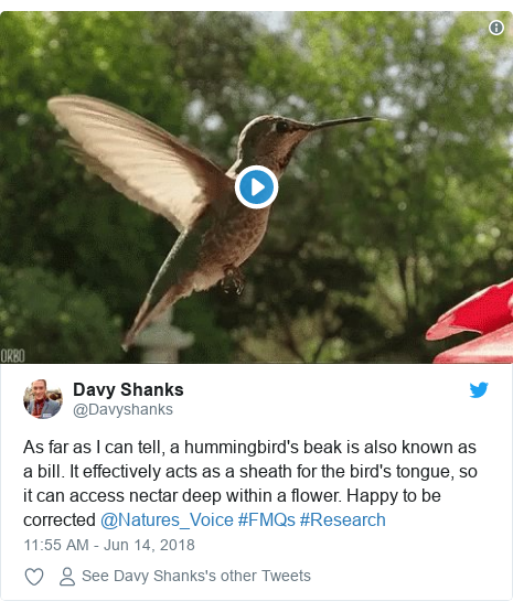 Twitter post by @Davyshanks: As far as I can tell, a hummingbird's beak is also known as a bill. It effectively acts as a sheath for the bird's tongue, so it can access nectar deep within a flower. Happy to be corrected @Natures_Voice #FMQs #Research