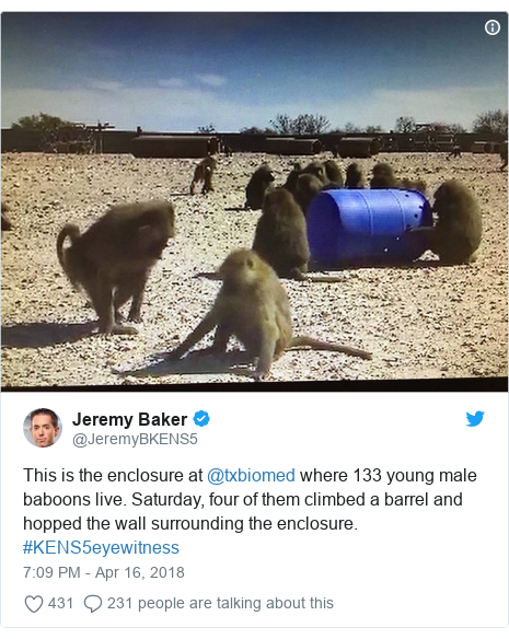 Twitter post by @JeremyBKENS5: This is the enclosure at @txbiomed where 133 young male baboons live. Saturday, four of them climbed a barrel and hopped the wall surrounding the enclosure. #KENS5eyewitness